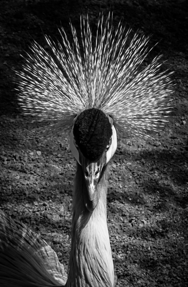 Portrait of a Grey Crowned Crane.