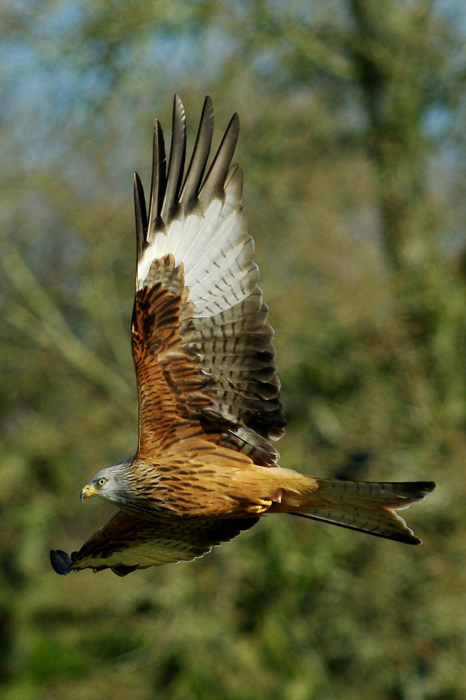 Red Kite in Woodland