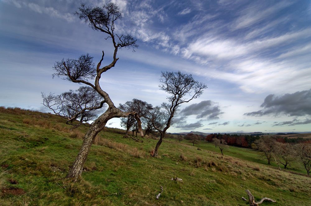 Twa Old Trees