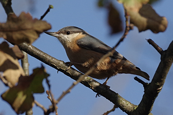 Nuthatch in the winter sun