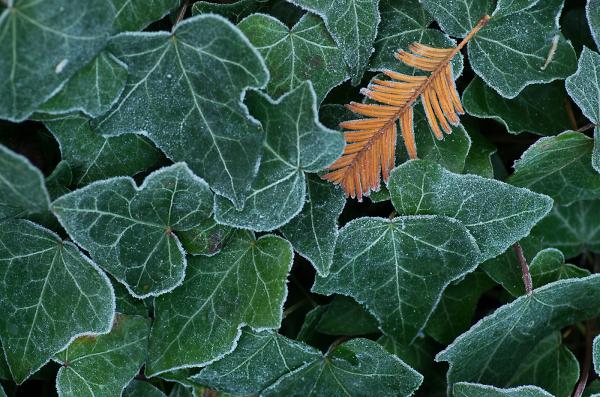Pine on Ivy