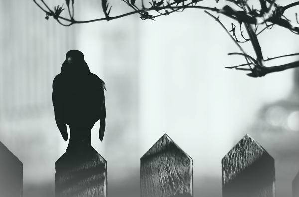 Black and white, lonely silhouetted Black bird