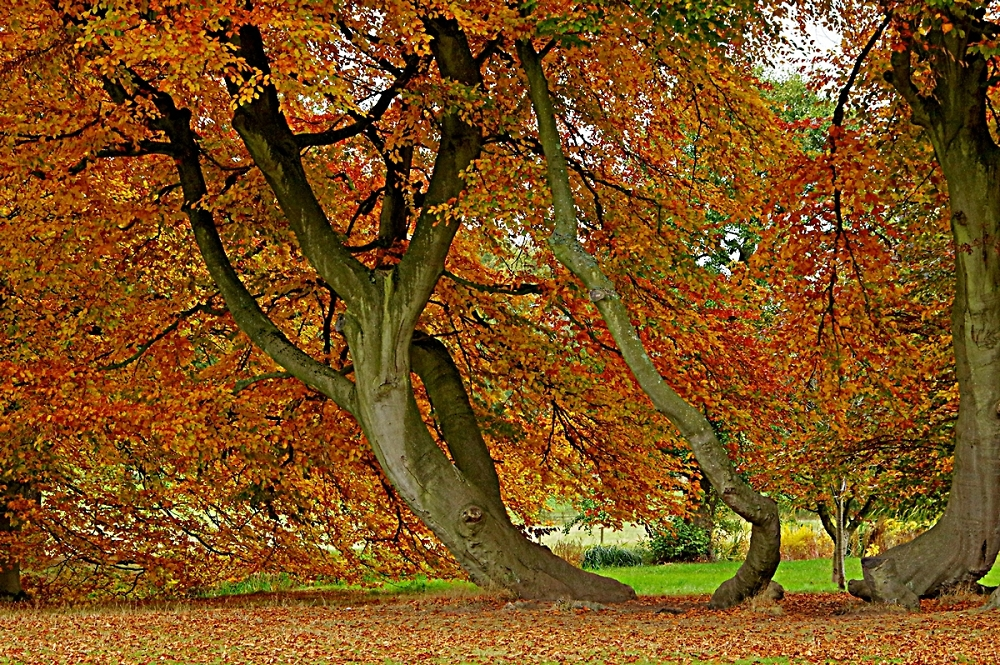 Beech at Packwood House