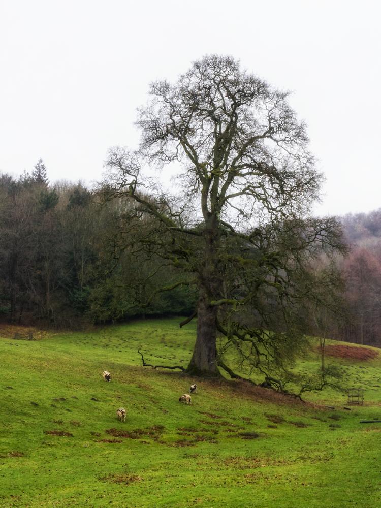 Lone Tree & Sheep