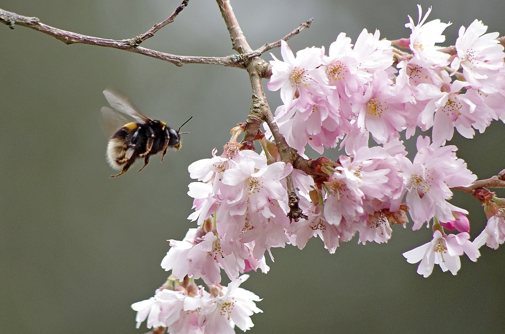 Cherry blossom (and a bumblebee)