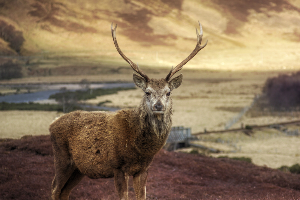 Deer on Glen Loth