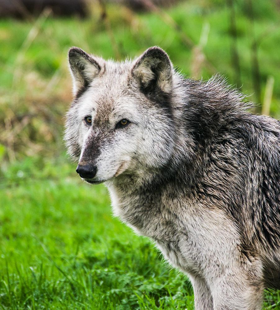I'm no 'Big Bad Wolf'