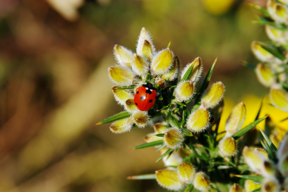 Ladybird on Gorse