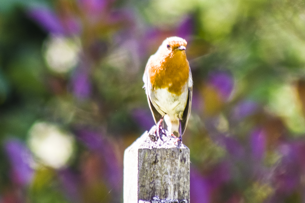 Just another Robin in the garden.