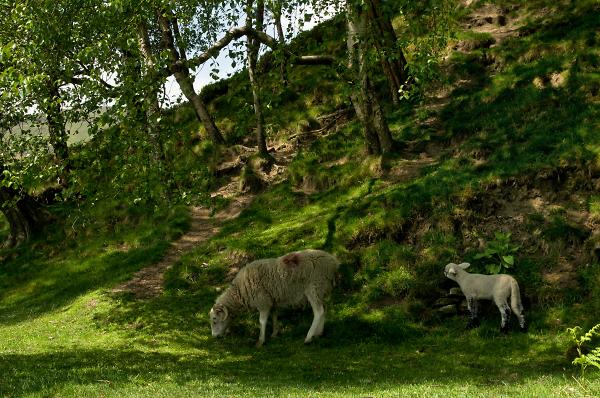 Edale Ewe and Lamb