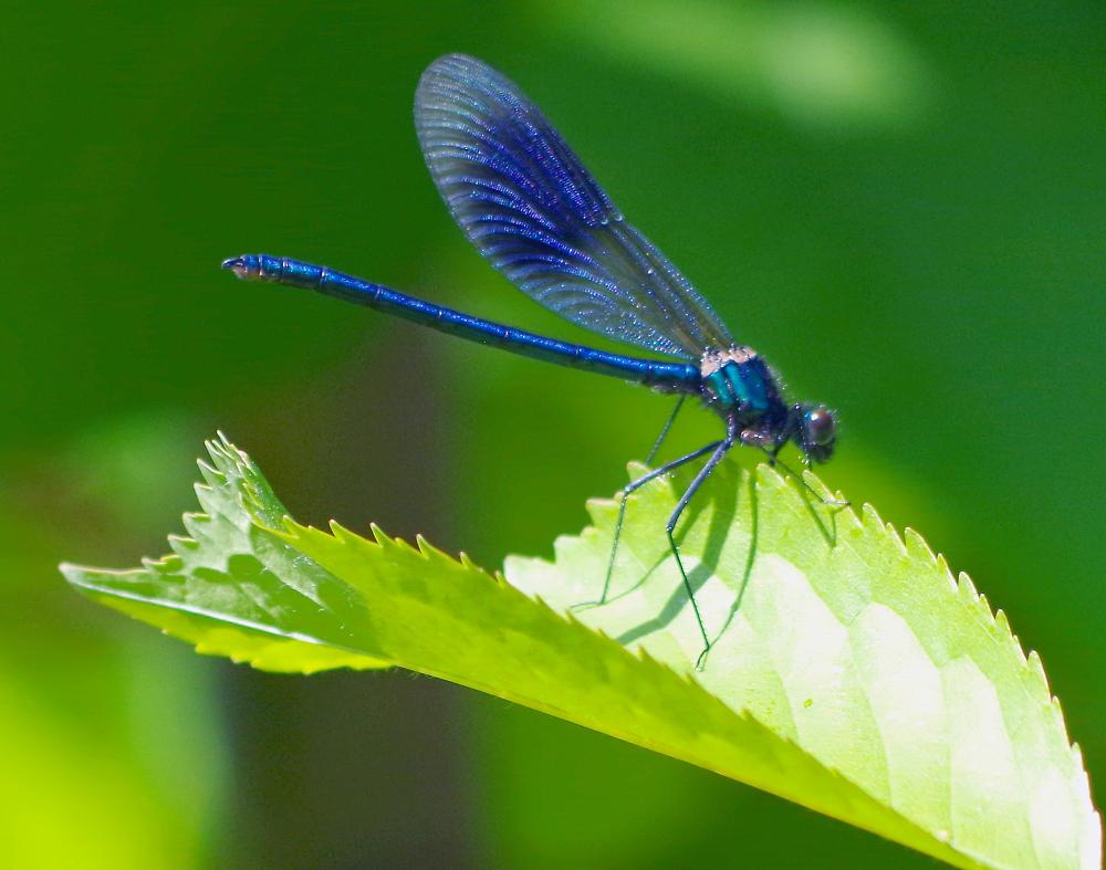 Blue damsel-fly