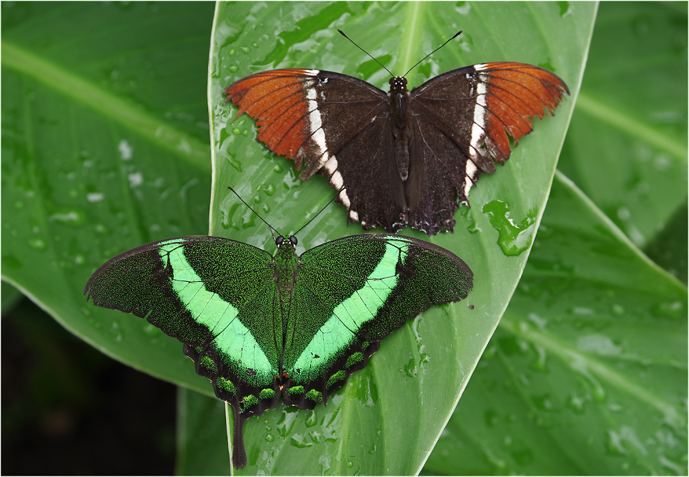 Green Banded Swallowtail and Rusty-tipped Page