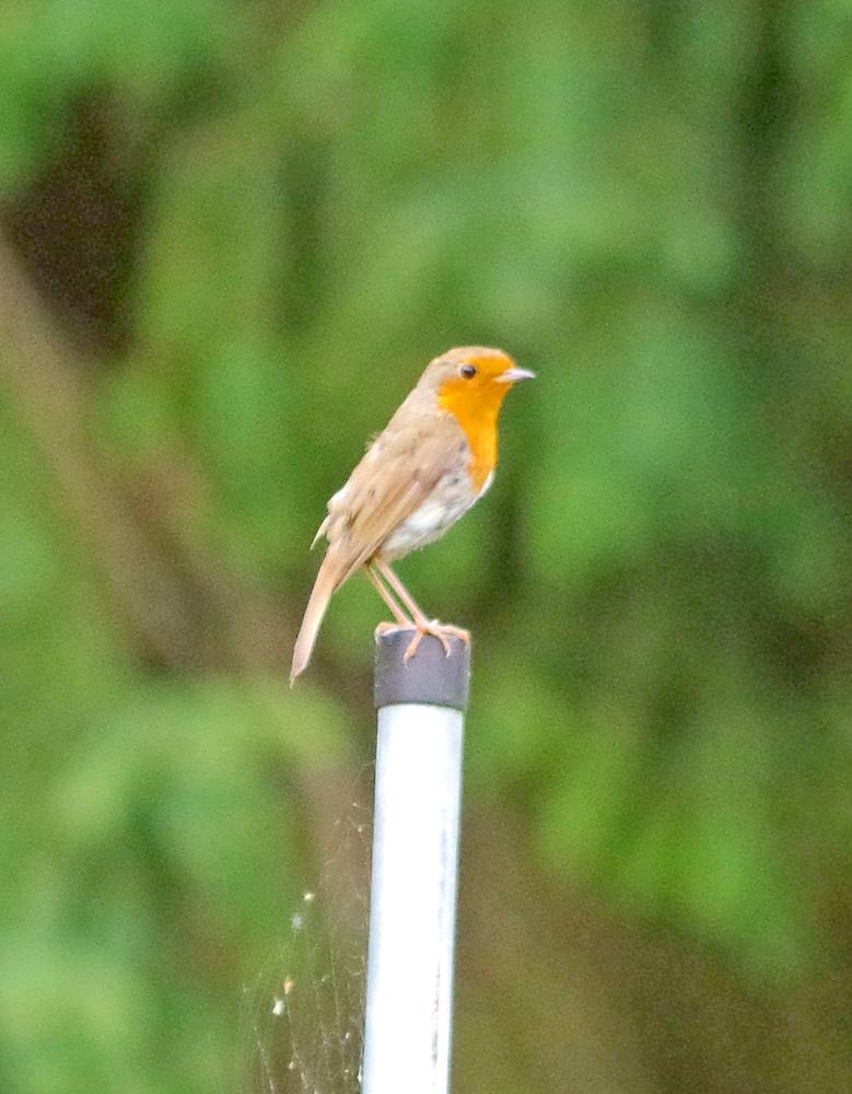 Robin on a pole