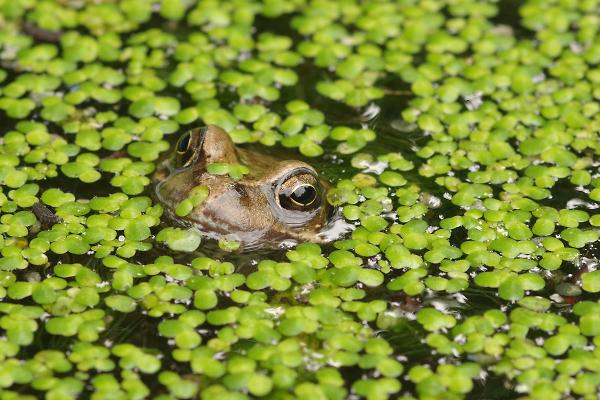 Frog in duckweed