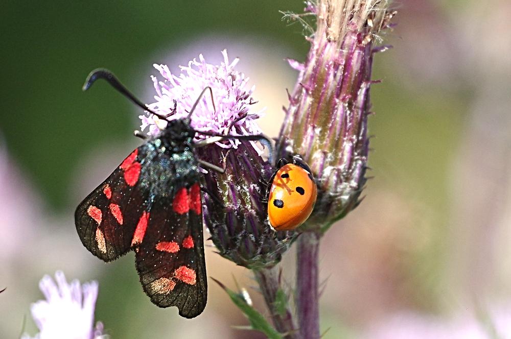 Burnet Moth and Ladybird share