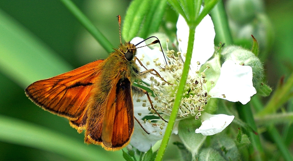 Large skipper on a bramble flower