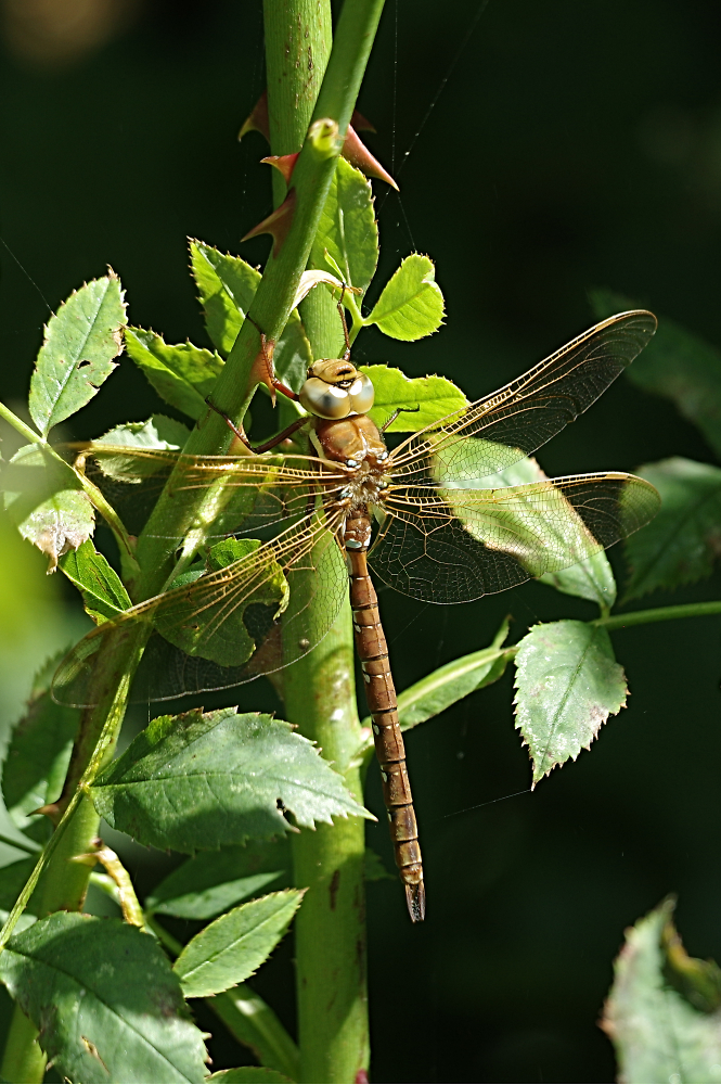 Unidentified Dragonfly (Male Brown Hawker)