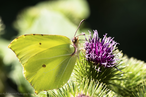Brimstone butterfly on a thistle head