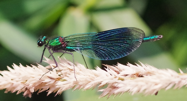 Male banded demoiselle damselfly