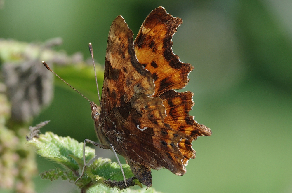 Comma on nettle
