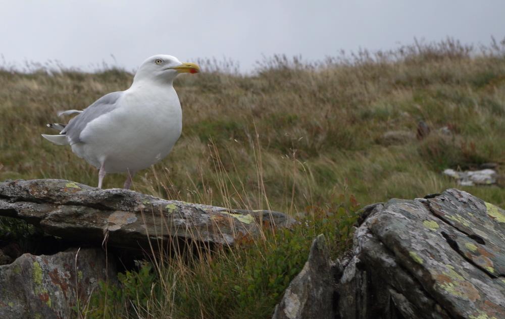 Snowdon Gull