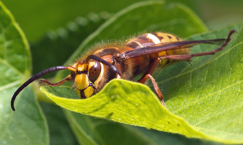 An Extra Large Male Worker Hornet