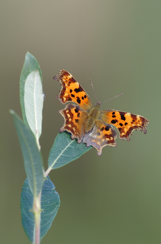 Comma in Autumn Sun