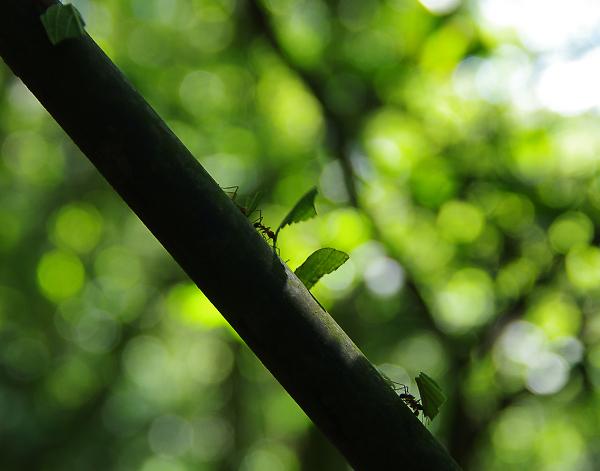 The tireless ants of Costa Rica