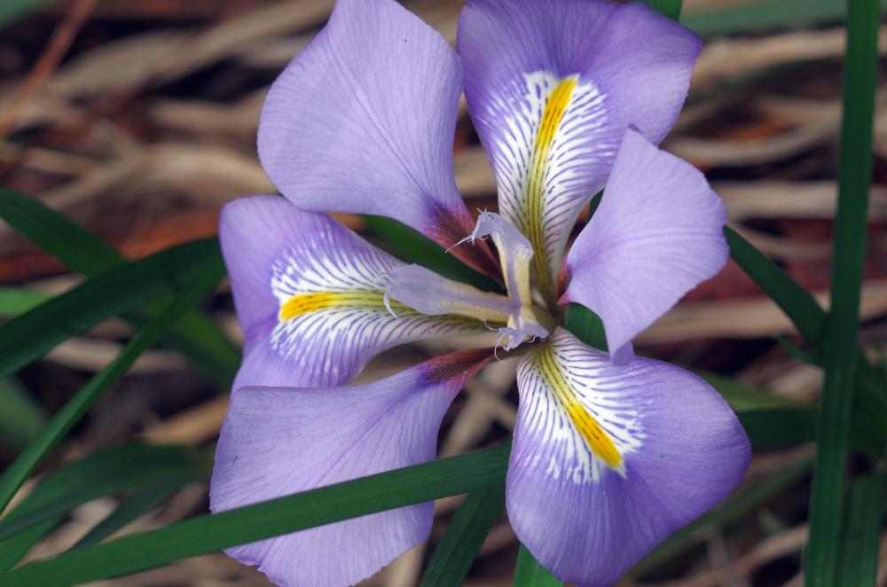A gladioli Flower, I think