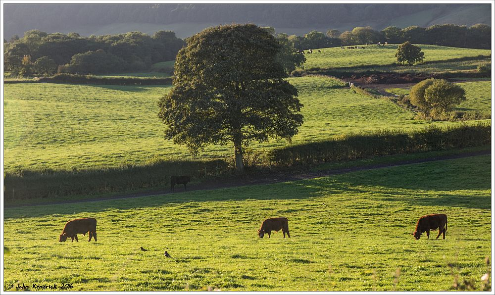 One Tree, Three Cows