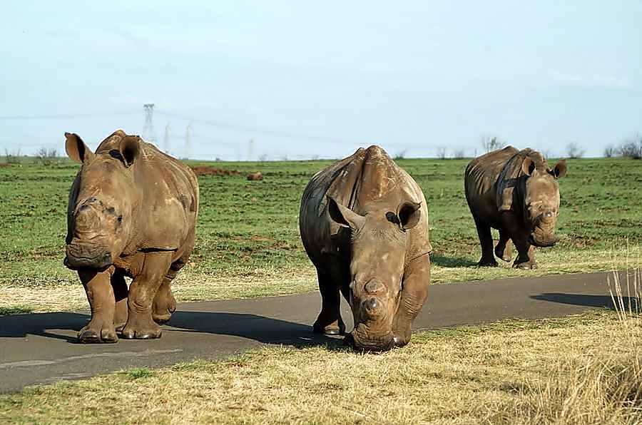 Rietvlei Rhino