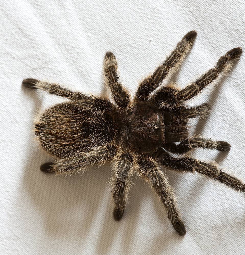 A furry spider