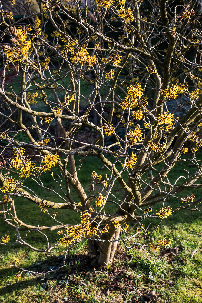 First Signs of Spring {Witch hazel)