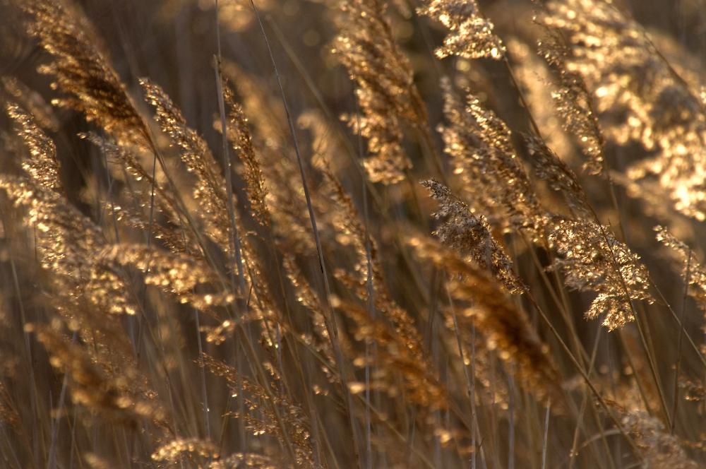 More Winter Reeds