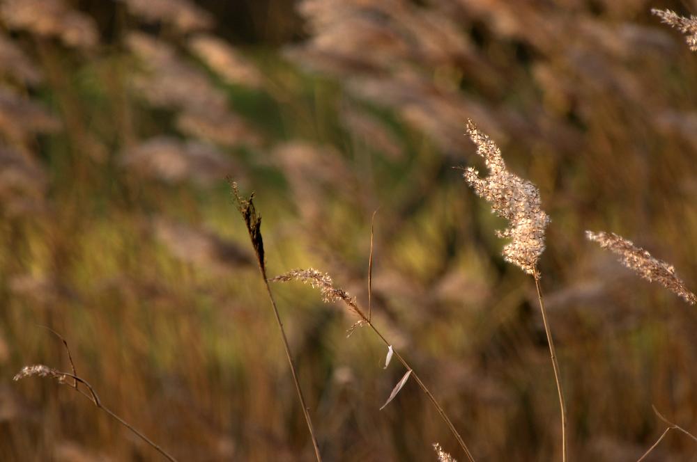 Winter Reeds & Evening Sun