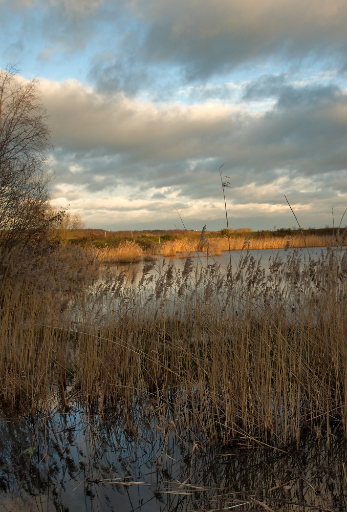 Reed Beds in Evening Sun