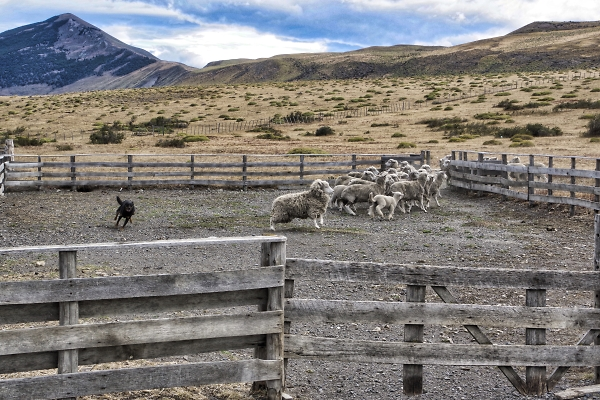 Highly enthusiastic (and very efficient) sheep dog