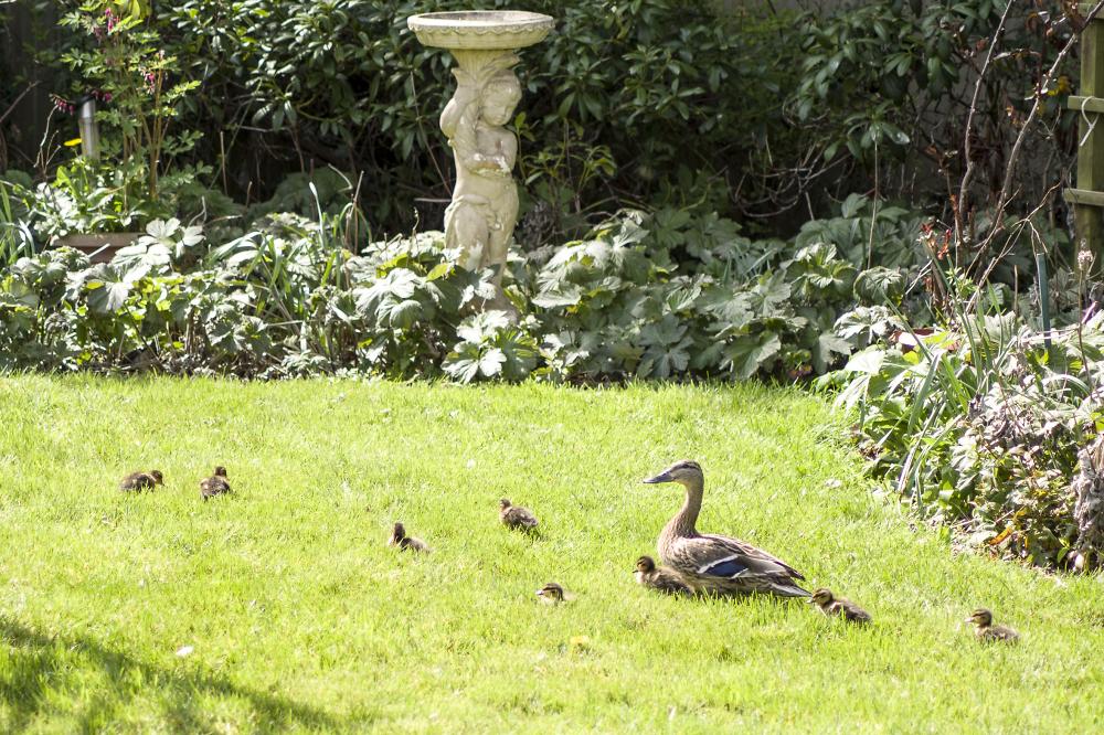 Ducks in the garden.
