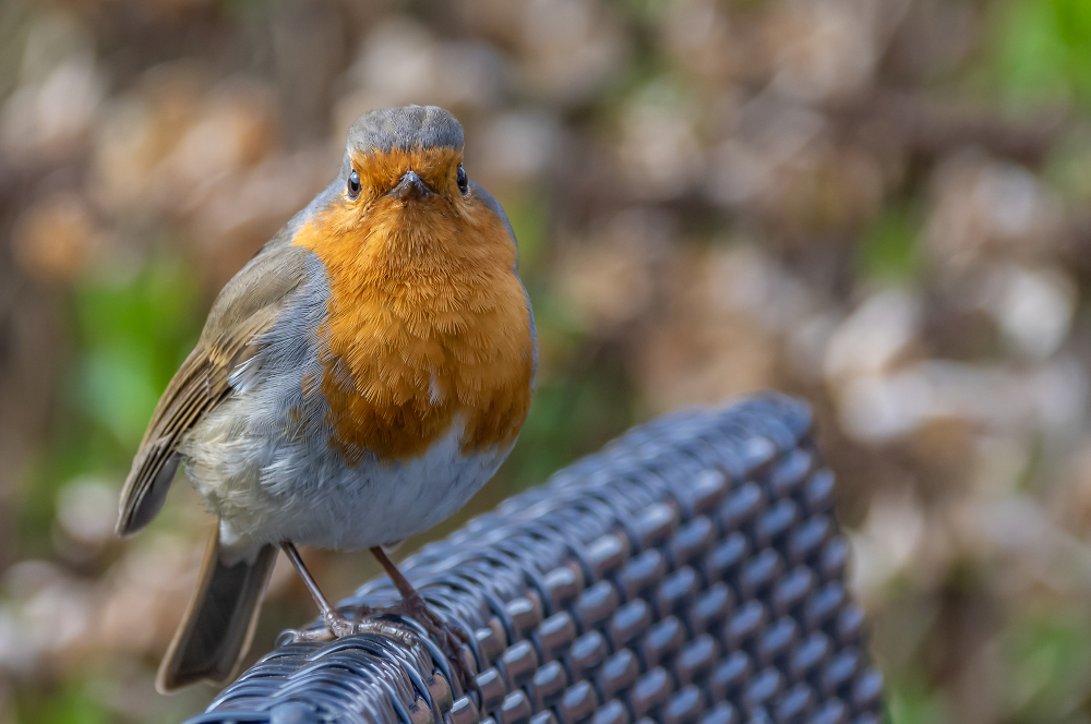 Robin Redbreast (You lookin' at me?)