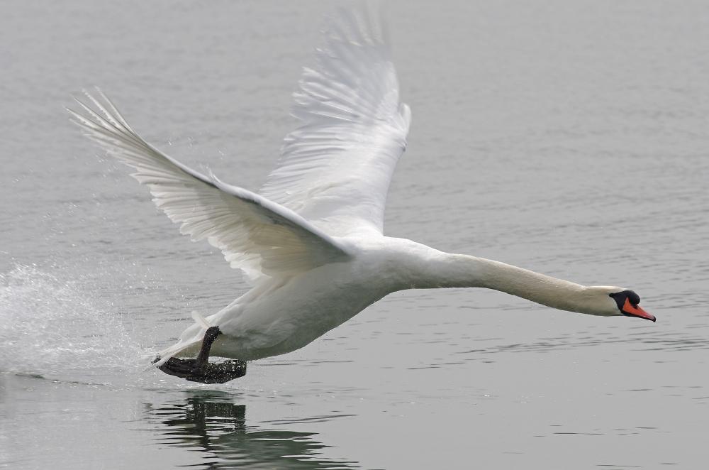 Swan Take-Off