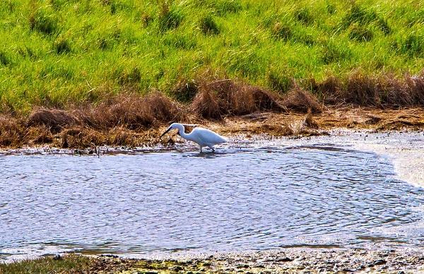 Wetland resident
