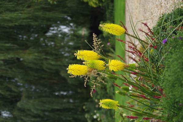 Yellow spiked flowers