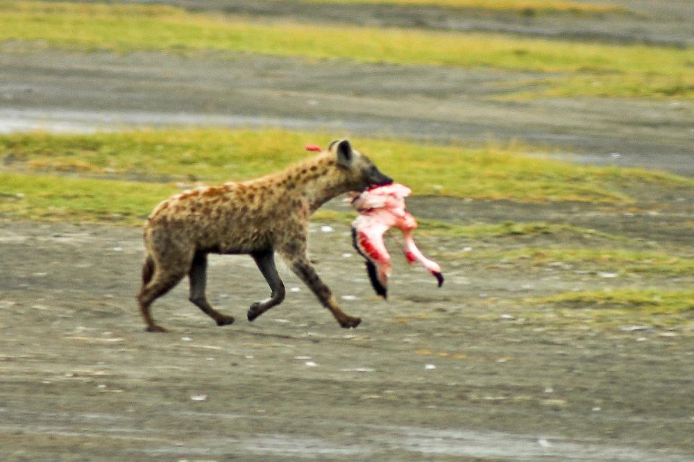 Hyena caught a flamingo.