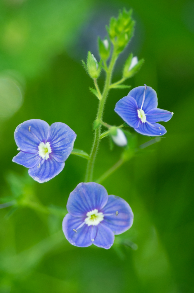 Speedwell in the Woods