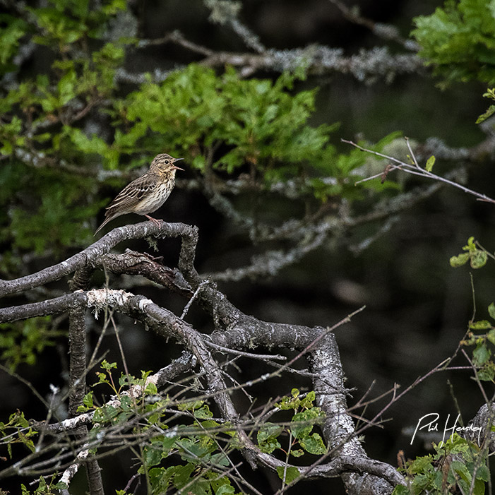 Tree Pipit - Bench Tor