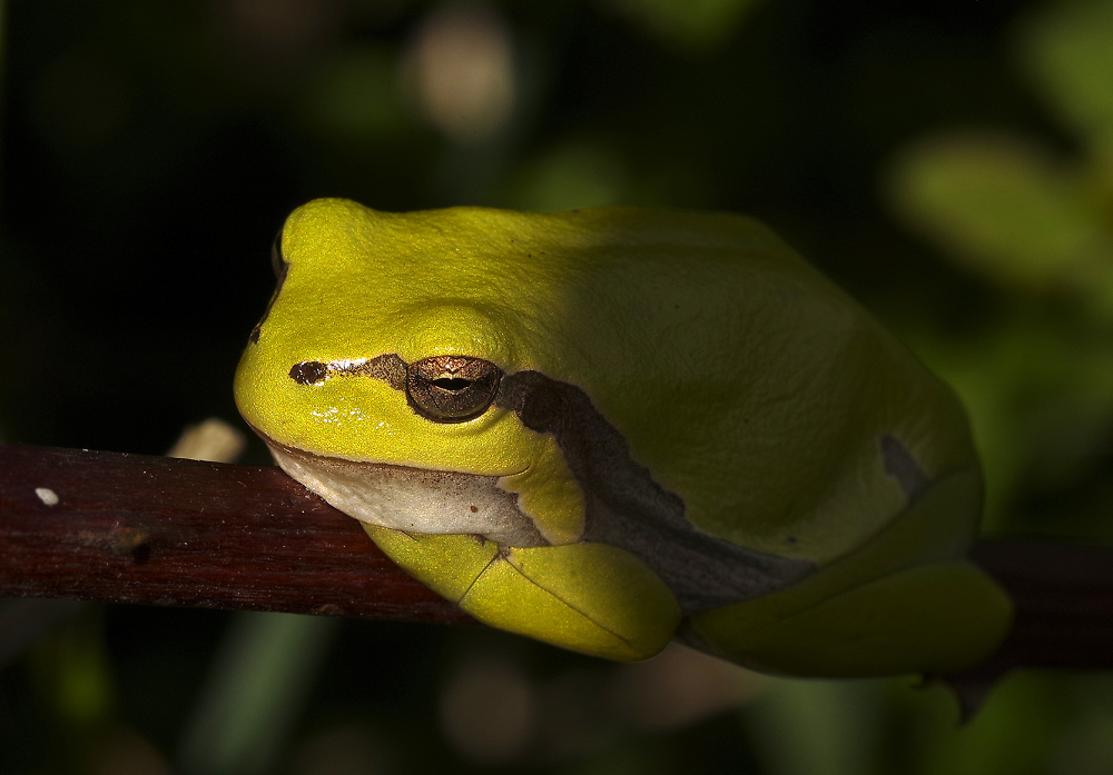 Two shades of Green Tree Frog