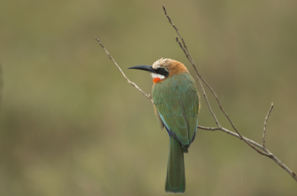 White Throated bee eater.