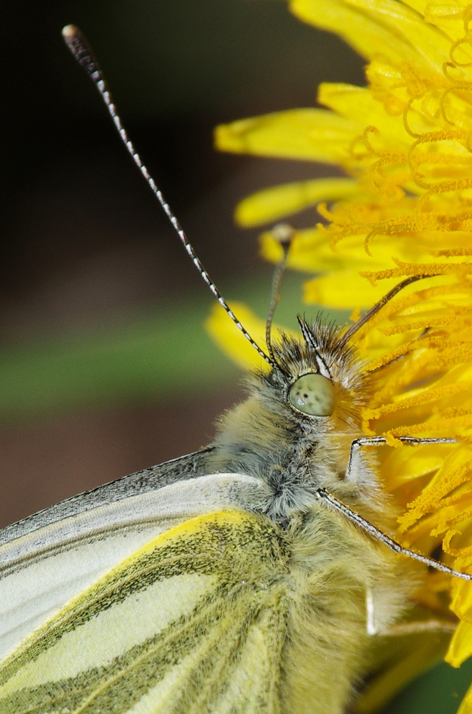 Green-veined white on dandelion