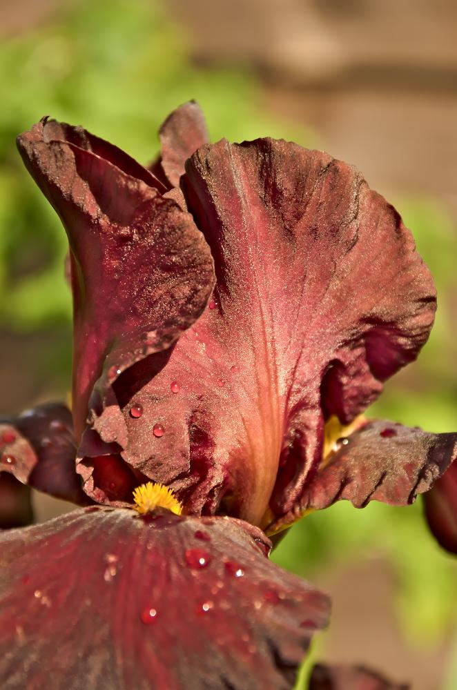 Iris Inconscente