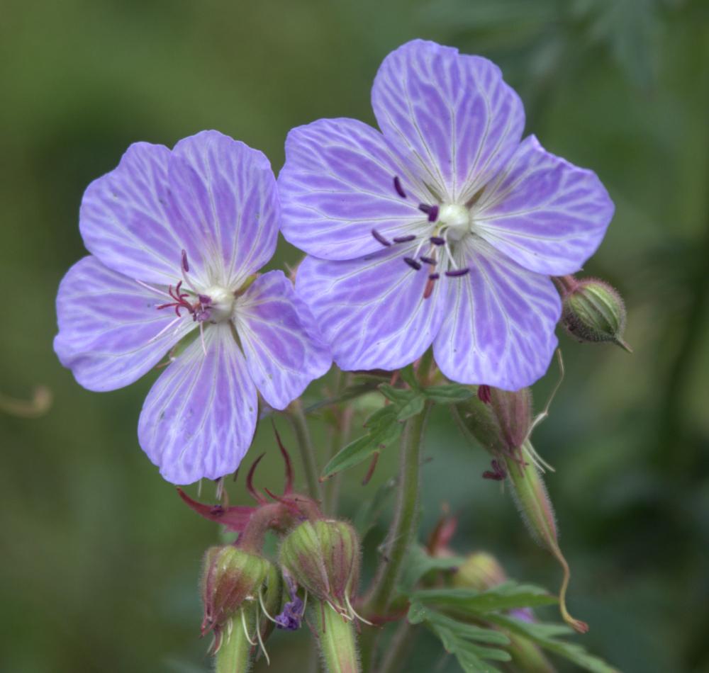 Johnsons Blue geraniums